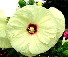 Hibiscus x moscheutos 'Old Yella'(OLD YELLA FLEMING™ HARDY HIBISCUS)