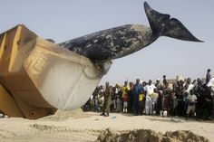 """A Brief History of Exploding Whales/ The Atlantic  """"Jack Lawson, a scientist affiliated with the Canadian fisheries department, told the media that his main concern was neither the stench nor the possibility of an explosion. He warned that the worst thing would be for a person to get too close to the whale and fall inside it"""""""