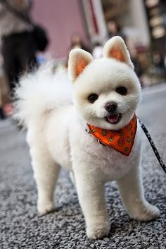 5 Interesting Facts about Pomeranian