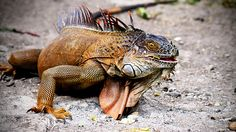 Despite their frightening appearance, green iguanas are herbivores and flee when encountered with danger.