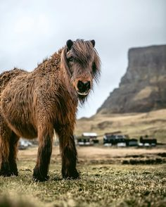 Faroe Pony / Faroe Islands. Faroese pony is mentioned in written sources from the 1600s. In the old days this pony breed was used to carry or haul heavy loads at farms and some sources also descripes Faroese ponies trained to herding sheep (known as tøkuhestar). When it wasn't at work, it was released onto the mountains where it roamed freely.