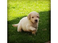 Pure Bred Golden Retriever Puppies For Sale For R2500 Each 3 Male