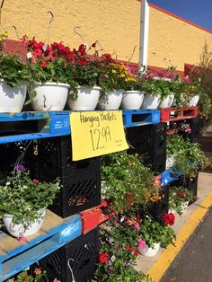 Frank's hanging baskets are here! $12.99 ea. (They arrived this morning and are going fast!!!)