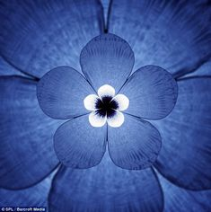 Five-petalled: The sounds of the white beaked dolphin (Lagenorhynchus albirostris) create this beautiful blue flower graph. Mark Fischer, the owner of Aquasonic Acoustics, began takes whale songs and transforming them into beautiful images. He converted the voices of the 100-ton mammals into 'wavelets' and then colored them in with imaging software.