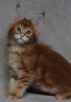 beautiful ginger main coon kitty-- Our first Tails Untold cat book named Totti, was a Maine Coon Cat. http://www.mainecoonguide.com/maine-coon-personality-traits/