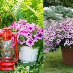 Growing Petunias in Containers | Petunia Care Tips