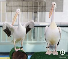 This is Ricky and Lucy, a co-ed pair of African Great White Pelicans. This quirky pair are actually big movie stars!