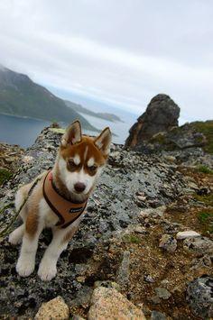 What a cutie! Siberian husky puppy