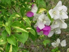 28 Bunga Mawar Jambe Videos Matching Tanaman Sikas Mawar Jambe
