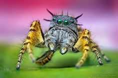 Adult Male Phidippus mystaceus Jumping Spider - Thomas Shahan