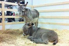 Kuvahaun tulos haulle Aasi Donkey, Kangaroo, Animals, Baby Bjorn, Animales, Animaux, Donkeys, Animal, Animais