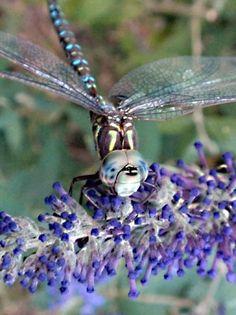 chloebear dragonfly
