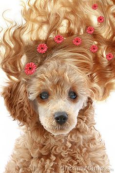 Photo about Small apricot poodle puppy with long hair on white background.