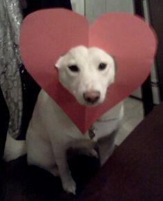 Shiba Inu Valentine