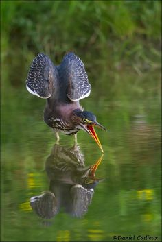 Green Heron Stretch and Yawn by Daniel Cadieux on 500px