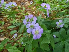 Sproutsandstuff: Tips on Growing Native Woodland Plants and Ephemer... #gardening #nativeplants #landscaping #propagating #seedstarting
