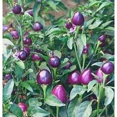 Very Hot Pretty Purple Pepper Plant - I would love to try this in our garden this year!!!