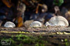Das müsste der Eichenwirrling sein, bin mir aber nicht zu 100% sicher  http://www.giovanni-malfitano.de/2016/01/07/auf-schatzsuche-in-den-w%C3%A4ldern-bei-raderbroich/ #Fotografie #Natur