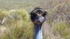 Photo of the Week - (Daddy) Emu, photographed in Francois Peron National Park
