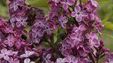 Syringa x hyacinthiflora 'Declaration' 1 flower