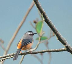 #172 白耳三角   白耳畫眉.攝於 台灣 桃園縣 拉拉山 White-eared Sibia, Brown hill…   Flickr