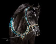 TF Raven (Ramses Mishal Nadir x TF Rose of Saeah by Botswana) Arabian colt The Arabian Horse - Drinkers of the Wind