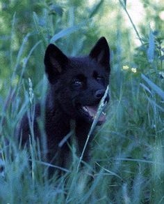 black wolf pup - Google Search