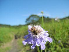 松虫草と蜂くん
