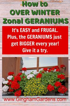 Learn how to keep geraniums over winter, or overwinter zonal geraniums. It's easy, it's frugal and it takes up no space. Plus get other tips for propagating geraniums from cuttings. #frugalgardeningtips #plantpropagation #redgeraniums Overwintering Geraniums, Growing Geraniums, Red Geraniums, Gardening Zones, Gardening Tips, Flower Gardening, Vegetable Garden Tips, Shade Flowers, Garden Maintenance