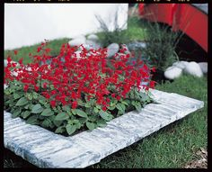 Learn about Salvia coccinea, also known as Texas sage or scarlet sage, from experts at HGTV. Learn how to grow Salvia coccinea. Full Sun Flowers, Amazing Flowers, Pretty Flowers, Hummingbird Garden, Fall Plants, Summer Plants, Garden Plants, Annual Flowers, Autumn Garden