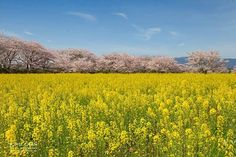 櫻花 x 油菜花 現在回想起也覺得正。 cherry blossom with canola flowers in Japan. telling us the coming of spring. #flower #landscape #scenery #photography #japan #nara #cherry #blossom #sakura #canola #yellow #ig_japan #igersjp #hkig #travel #travelgram #canon_photos #canonasia #canonfullframer #canonhk_fullframer #canonhk #日本 #櫻花 #春 #油菜花 #写真 #写真撮影 by johnchanmk. landscape #油菜花 #canonfullframer #canonasia #photography #ig_japan #travel #nara #blossom #cherry #flower #写真撮影 #日本 #canonhk_fullframer #春…