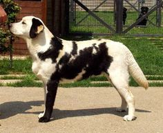These amazing dogs have such unusual colors and markings that once you see them, you'll never be able to forget them.
