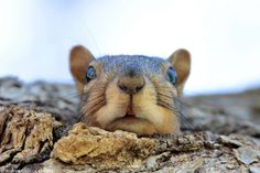 Fox Squirrel - null