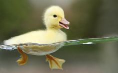why not a duck too?