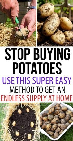 Stop Buying Potatoes. Use This Super Easy Method to Get an Endless Supply at You Home To reap all these nutritional benefits in potatoes, you don't have to rush to a local market. Instead, you can plan to grow your endless supply of potatoes at your home. Potato Gardening, Planting Potatoes, Organic Gardening, Gardening Tips, How To Plant Potatoes, Potatoes Growing, Sprouting Potatoes, Grow Potatoes In Container, Bucket Gardening