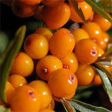 Botanisches und Aussehen  Im Oktober ist es ein Wunder in Orange, das uns schon von Weitem entgegenleuchtet. Die Beeren des Sanddornstrauches sind jetzt reif und ihr üppiges Orange tritt in Konkurrenz mit den warmen Rot- und Gelbtönen der Laubblätter. Der Sanddorn gehört zu den Ölweidengewächsen und das ist ihm anzusehen. In seinem Habitus erinnert er in der Tat an Weiden und das aus den Samen gewonnene Öl ist fett und reichhaltig. Der Strauch kann bis zu 7 m hoch werden und selten wächst er…