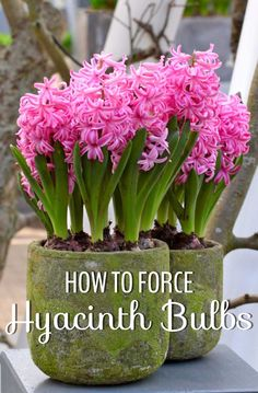 How-to-Force-Hyacinths-1---Longfield-Gardens.jpg