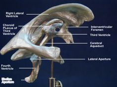 ventricle model labeled - Google Search