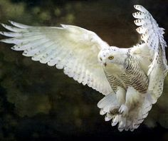 The Snowy Owl (Bubo scandiacus Linnaeus, is a bird of the family of Strigidi. The Snowy Owl is the official bird of Quebec. Beautiful Owl, Most Beautiful Animals, Beautiful Creatures, Magical Creatures, Beautiful Pictures, Owl Bird, Pet Birds, Bird Art, Owl Cat