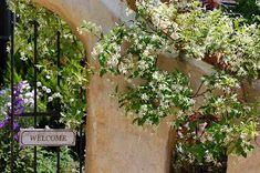 テイカカズラ : 私の小さな庭のお花達