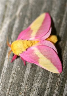 Rosy Maple Moth - these are amazing in person; Bill Hubrick Photography