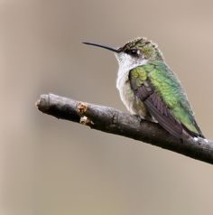 Photo Hummingbird on branch by Brian Masters on 500px