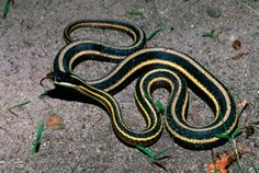 Northern Ribbon Snake (Thamnophis sauritus septentrionalis) Photo © Jim Harding Ribbon Snakes inhabit marshes and the edges of lakes, ponds, and streams. They are very alert and active, and swim well (but rarely dive). Their diet includes frogs, tadpoles, salamanders, and small fish. From 3 to 26 young are born in late summer. They are 7 to 9 inches long and colored like the adults. The snake can be found throughout the Lower Peninsula, and is locally common where suitable wetland habitat…