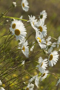 Daisies Blowin In The Wind . Make Mom's Day with the What Does Mom Mean To You #Sweeps!