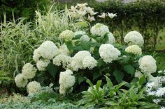 annabelle, hydrangea White Gardens, Brighten Your Day, Shrubs, Perennials, Greenery, Flora, Yard, Exterior, Vegetables