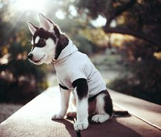 huskey in a shirt!