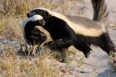 Honey Badger or Ratel (Mellivora capensis) - found in Africa, south-west Asia and the Indian sub-continent. Amazing Animal Pictures, Wild Animals Pictures, Baby Badger, Honey Badger, Animals And Pets, Baby Animals, Cute Animals, Animal Action, Fauna