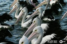 Did you know a group of pelicans is called a pod?