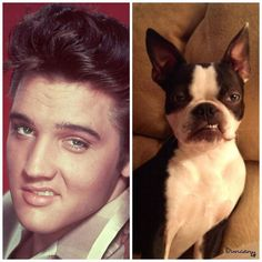 Elvis ain't got NOTHIN' on THIS Boston Terrier!