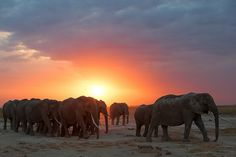 "Herd of Elephants at Sunset. See Over 2000 more animal pictures on my Facebook ""Animals Are Awesome"" page. animals wildlife pictures nature fish birds photography"